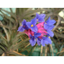 Plantas De Clavel Del Aire: Florecen En Primavera.