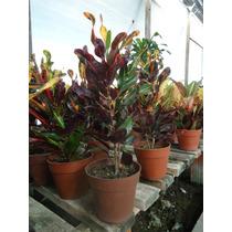 Croton Tirabuzón Planta De Interior Envío A Domicilio