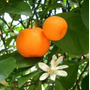 Mandarina / Frutales / Citricos - Vivero Kirken