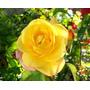Rosal Amarillo Día De La Madre X 3 Días - Caballito