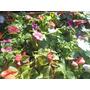 Alegrias Del Hogar Cajon X 20 Plantines Vivero La Casita