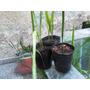 Se Subasta 3 Plantines D Palmeras Pindo De 25 A 40 Cm Aprox.