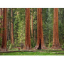 Sequoia Roja - Árbol Gigantesco - Cañuelas