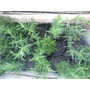 Aromaticas Vivero La Casita.. Cajon X 10 Plantines