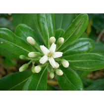 Planta Azarera - Pittosporum Tobira