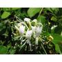 Planta Lonicera Japónica - Madreselva 4l