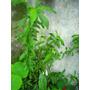 Plantines De Duraznero (semilla)