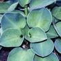 Hermosas Hostas Azules, Valor Por Cada Planta.