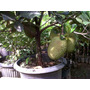 Fruto Del Pan,yaca,planta Frutales Tropicales Frutales Raros