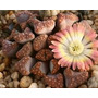 Variedad En Cactus Y Suculentas Maceta 8