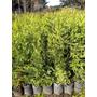 Plantas Para Cerco Leylandi Pinos Cercos Oferta!!