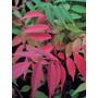 Arbol Plantin Rhus, 25cm Aprx En 3lts, Vivero Arbol Hermano