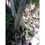 Planta De Espada De San Jorge Organica