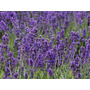 Plantines Florales Arom. Lavanda Cajón -maceta Nº12- 12u $95