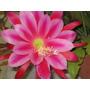 Cactus De Flor Fuccia