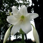 Plantas De Crino O Crinum, Rosa O Blanco.