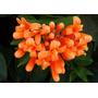 Pyrostegia - Trepadora - Florece En Invierno - Cañuelas