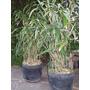 Bambú Japonés (arundinaria Japonica)