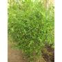 Ligustrina, Cerco, X 10 Unid. No Son Varitas Son Plantas