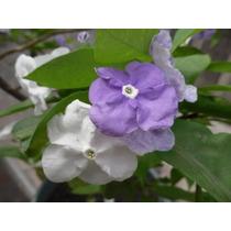Jazmin Paraguayo, Brunfelsia Calycina, Jazmin America