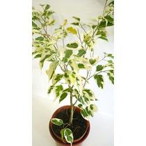 Ficus B.starlight M 3 Lts