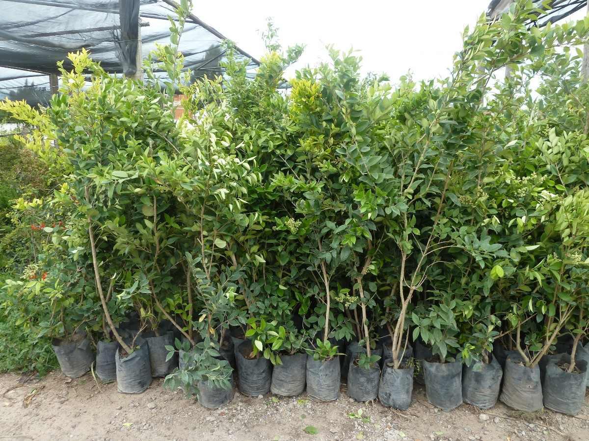 Plantas para cerco oleo texano excelentes plantas pleno - Plantas pleno sol ...