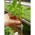 Kit Nutriente Hidroponia (rinde 1000 Litros)