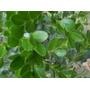 Arbustos Buxus Elviveruski Jardin Plantas Para Cercos Vivero