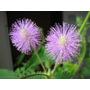 10 Semillas De Mimosa Pudica (giant) - Sensitiva