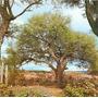 50 Semillas De Algarrobo Blanco,de Brachichito Y Acacia