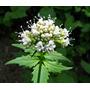 50 Semillas Valeriana Officinalis