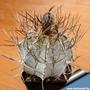 20 Semillas De Cactus Astrophytum Capricorne Niveum Swoboda