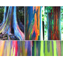 50 Semillas Frescas Eucalipto Arco Iris Eucalyptus Deglupta