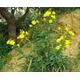 Semillas De Onagra Oenothera