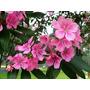 Flor De La Cuaresma (tibouchina Granulosa) Semillas