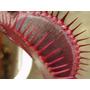 Venus Red Dragon Atrapamoscas 2 Años Plantas Carnivoras Neo