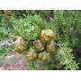 Cipres - Cupressus Sempervirens Semillas Para Plantas