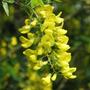 Semillas Lluvia De Oro. Hermosa Flor Dorada En Racimo