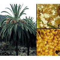 Semillas De Palmeras De Las Islas Canarias (50)