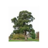 50 Semillas Sembrar Eucaliptus Globulus