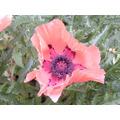 Semillas Amapola Salmón Gigante. Hermosa Flor