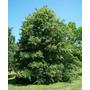 30 Semillas De Roble De Los Pantanos ( Quercus Palustris )