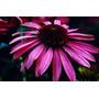 Tintura Madre Equinacea Purpurea, 100% Organica Y Pura