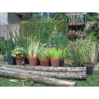 plantas acuaticas para estanques - $ 80,00 en mercado libre