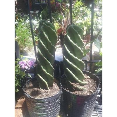 Cactus cereus forbesii spiralis vivero elviveruski 499 0 for Vivero tu jardin