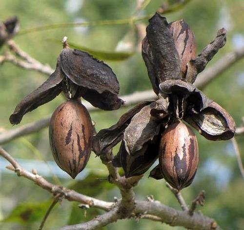 Arbol de nueces nogal pecan vivero online en venta en for Vivero online arboles